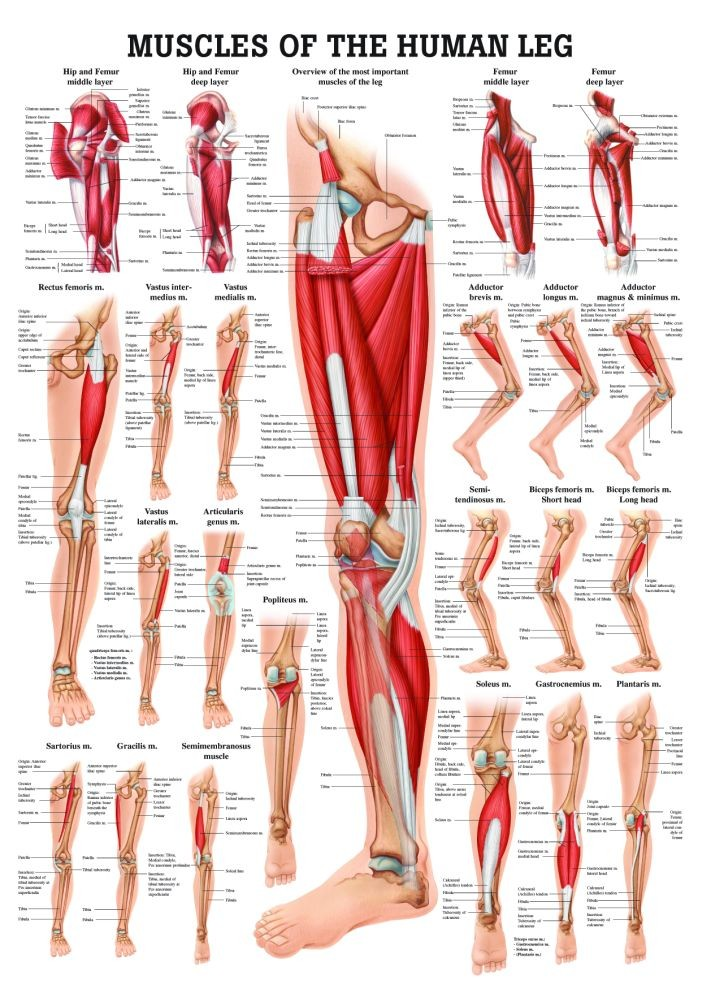 Muscle of the human leg diagram