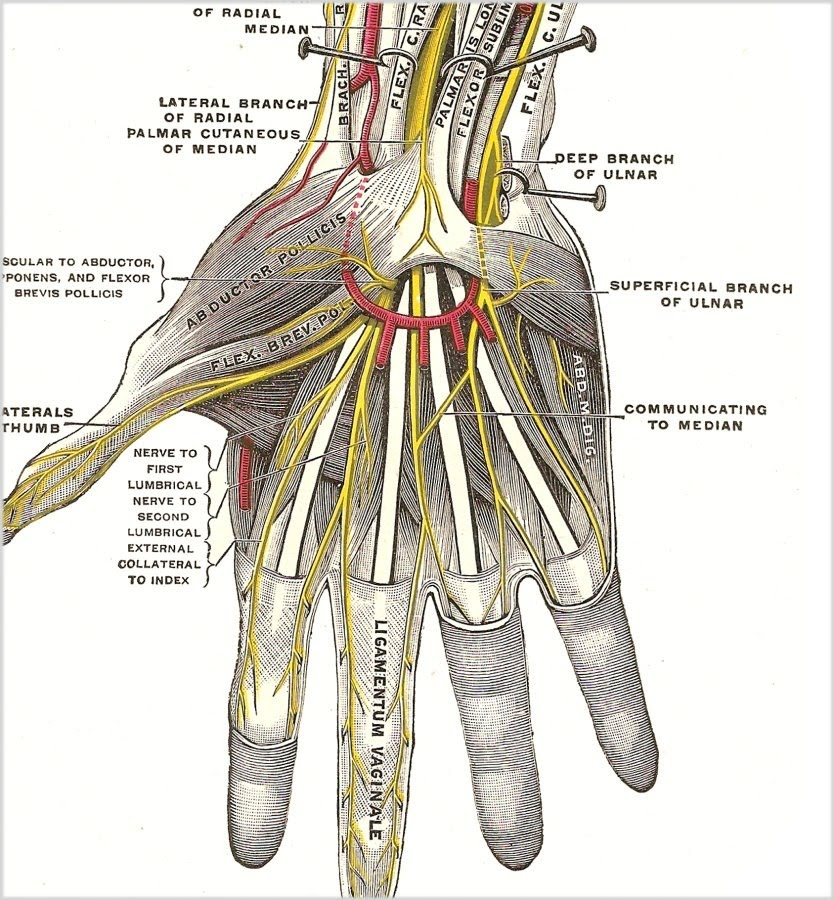 Hand nerve and abductor pollicis muscle, flexor brevis pollicis muscle anatomy