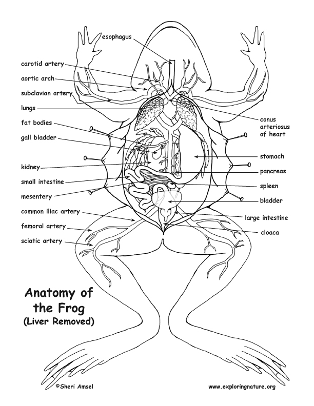 Anatomy of the frog liver removed