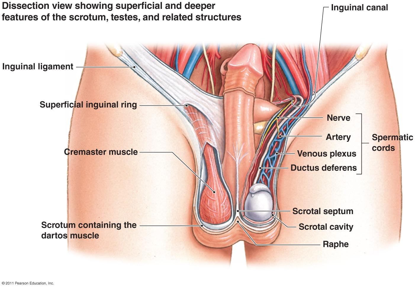 Dissection view of superficial and deeper features of the scrotum, testes, and related structure