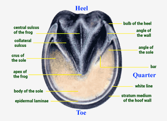 Horse toe and heel anatomy
