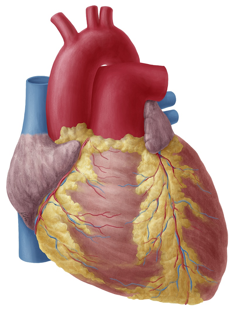 Heart anatomy anterior view without labeled