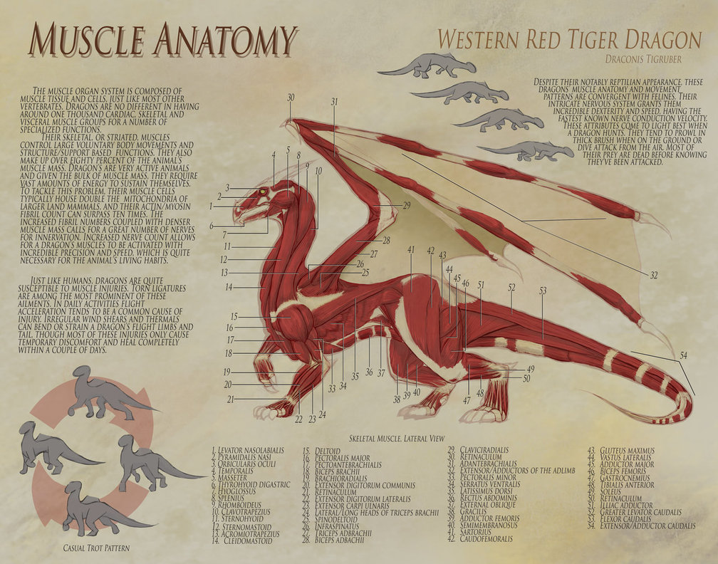 Western red tiger dragon muscle anatomy