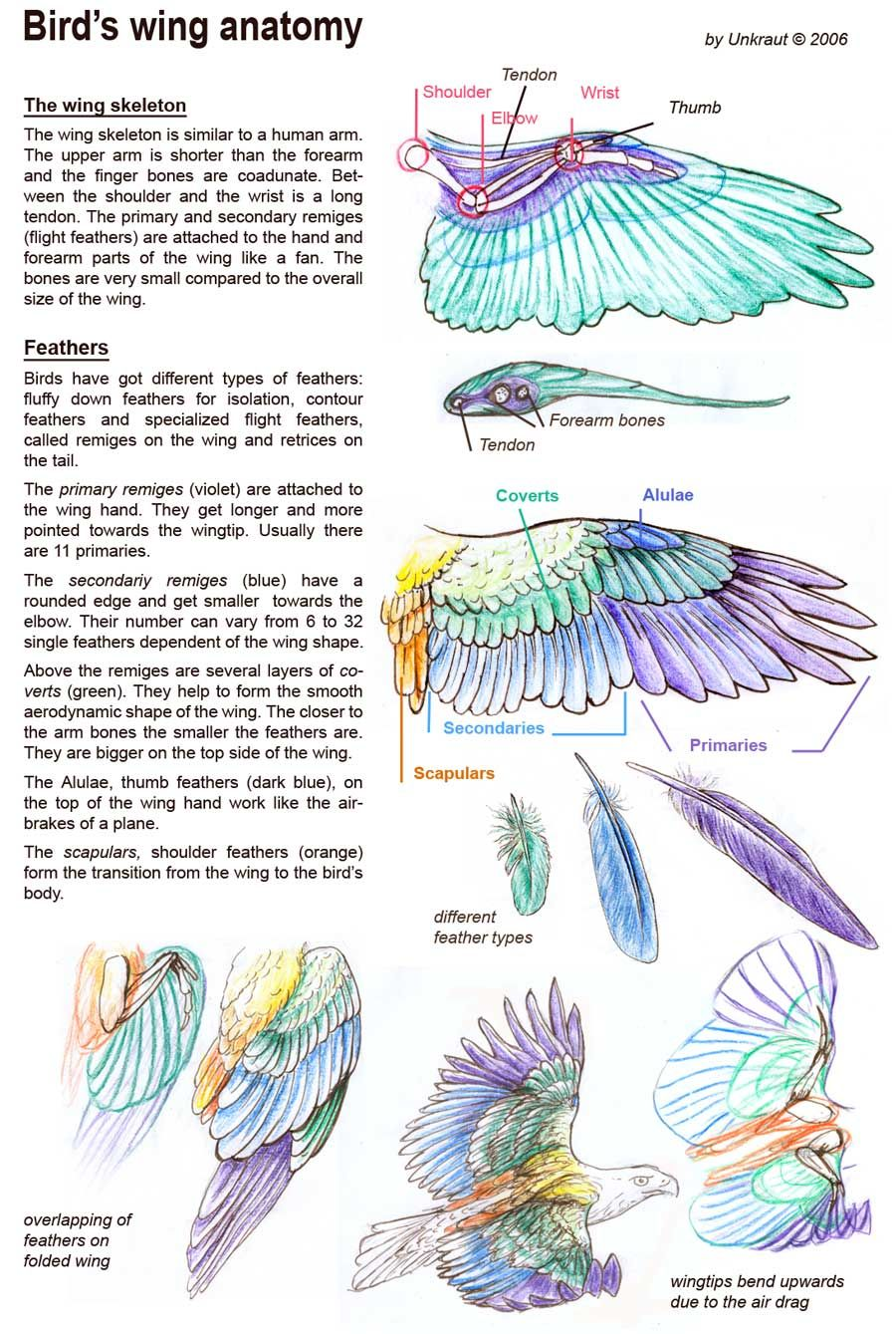 Bird's wing anatomy skeleton and feather