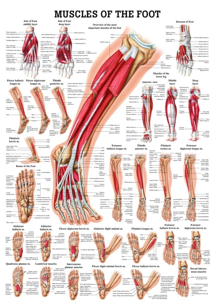 Muscles of the foot gross view