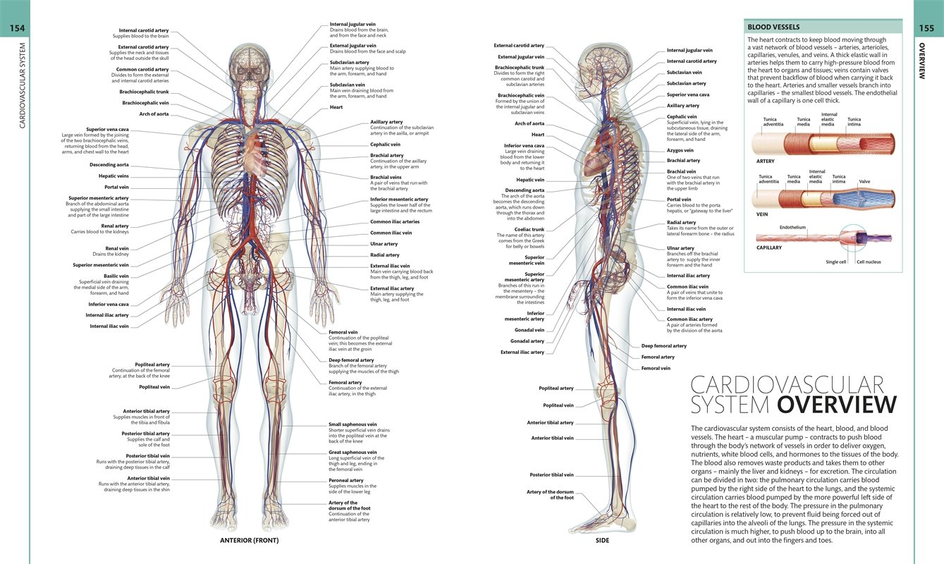 Cardiovascular system of human body overview