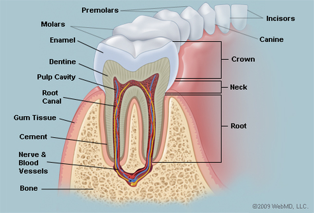 Tooth anatomy in detail