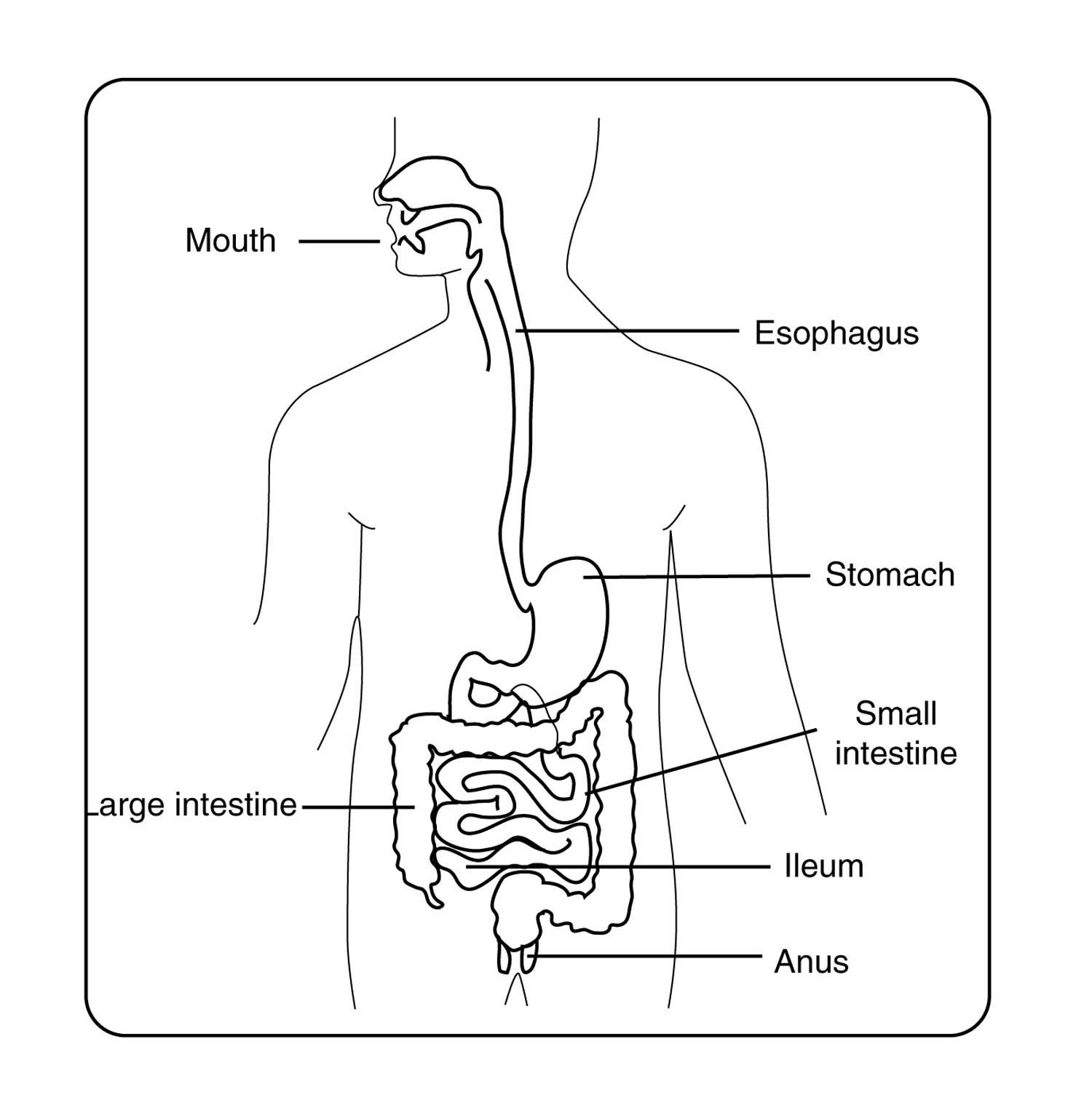 Main Organ Of The Digestive System Digestive System Part And Labled Accessory Organs In Digestion The