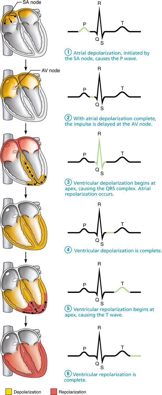 Pacemaker cells trigger action potentials throughout the heart