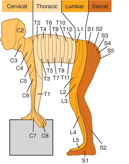 Spinal nerve and innervation area of human body