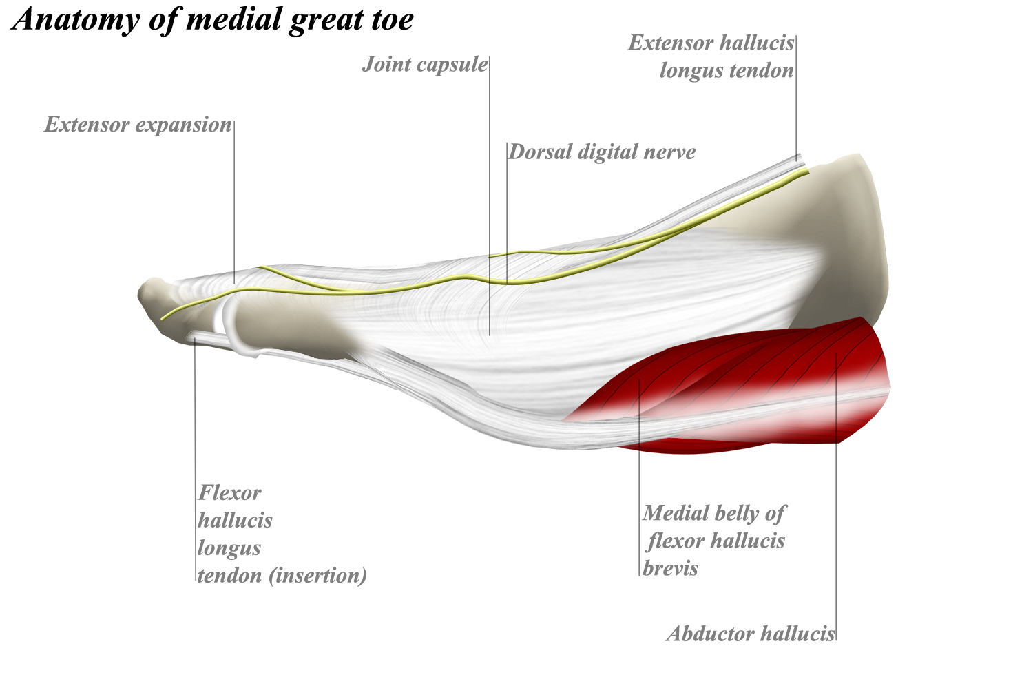 Anatomy Of A Great Picture: Anatomy Of Medial Great ToeAnatomy Of Medial Great Toe