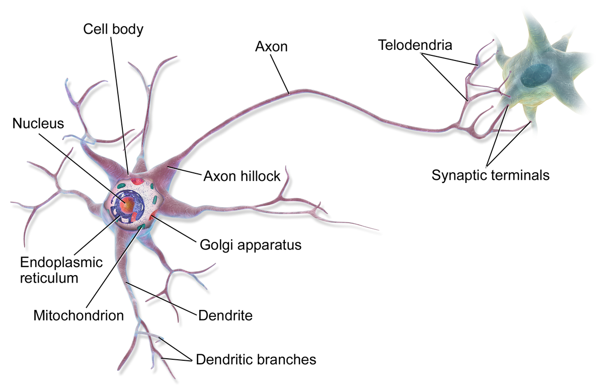 Neuron and synaptic terminals anatomy