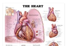 The heart anatomy gross view