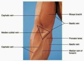 Arm vein diagram