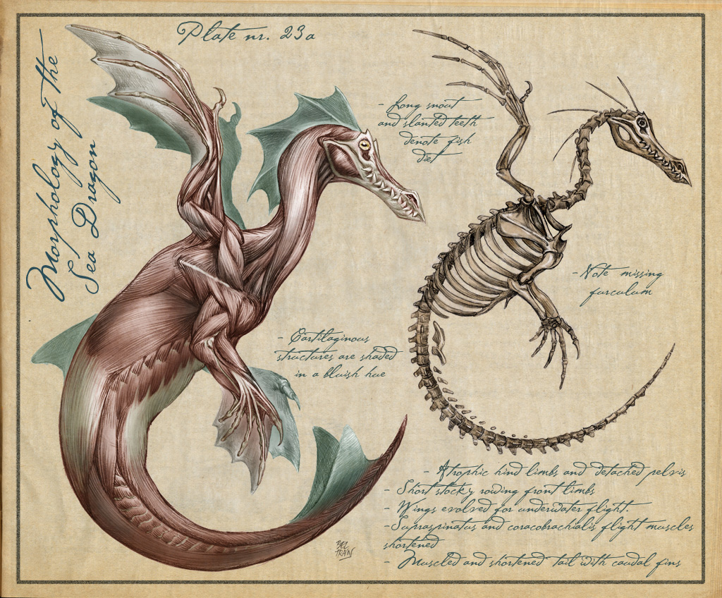 Western dragon muscles and skeleton anatomy