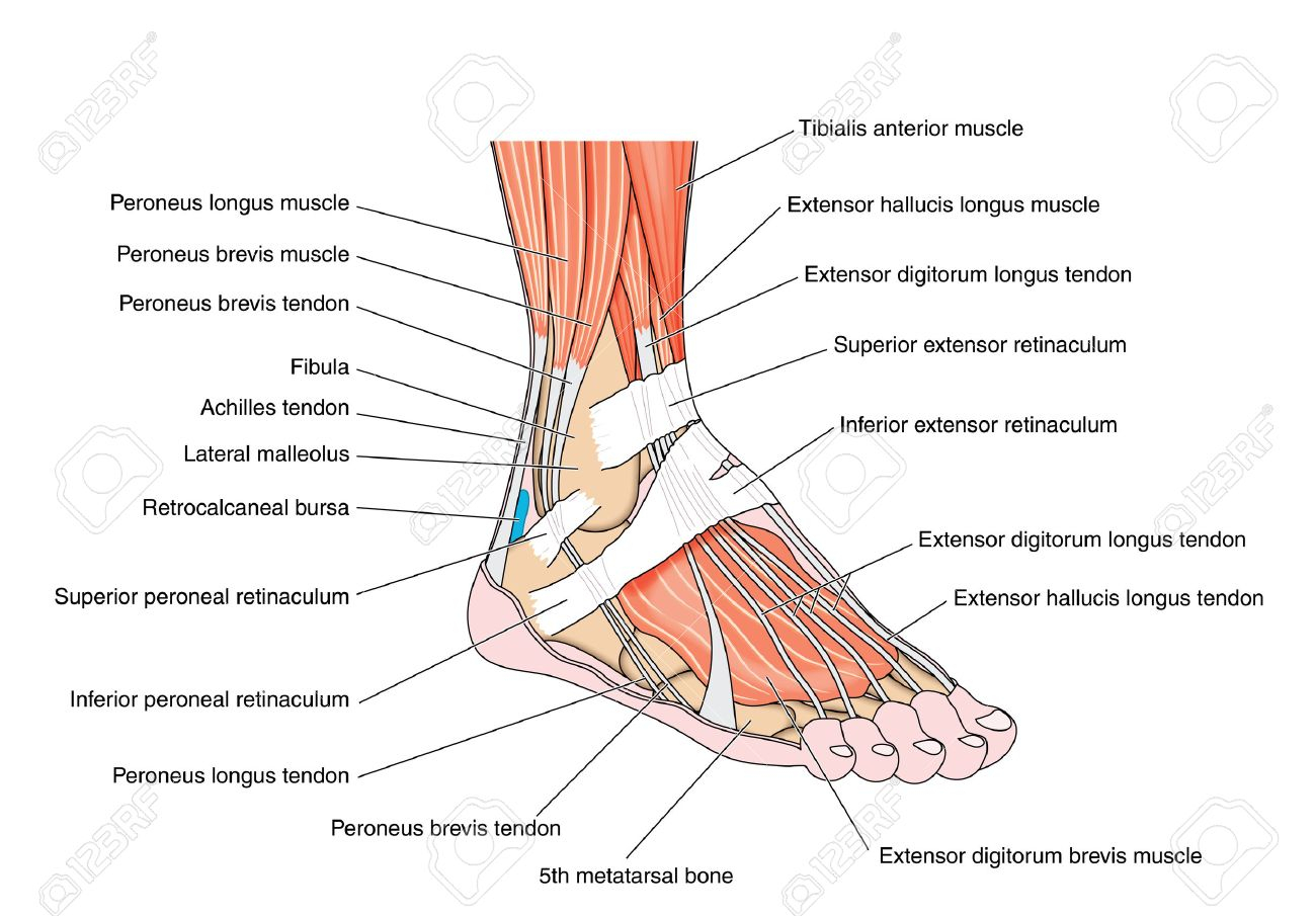 Foot And Ankle Muscles Worksheets Anatomy Of The Ankle Tendons Images – Human Anatomy Learning