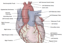 Anterior view of heart surface anatomy