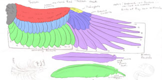 Wing and feather anatomy