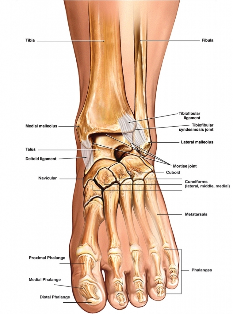 foot and ankle anatomy quiz foot and ankle bones anatomy human anatomy  diagram  anatomy note