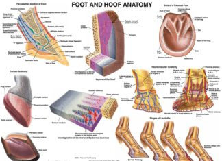 Foot and hoof of equine horse anatomy