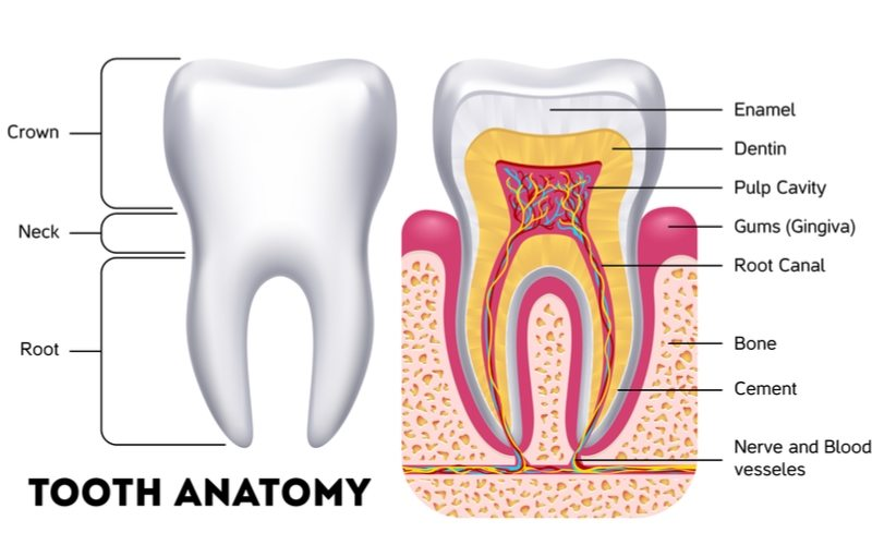 Tooth anatomy external view and internal view