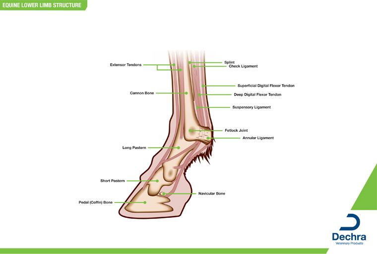 Equine lower limb structure