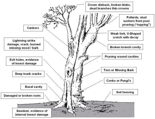 Tree anatomical structure