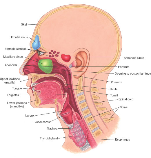Frontal sinus, maxillary sinus, ethmoid sinuses anatomical location