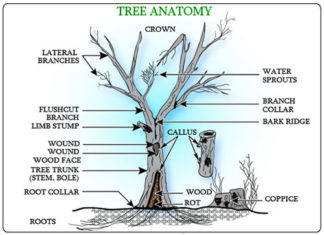 Tree anatomy gross view