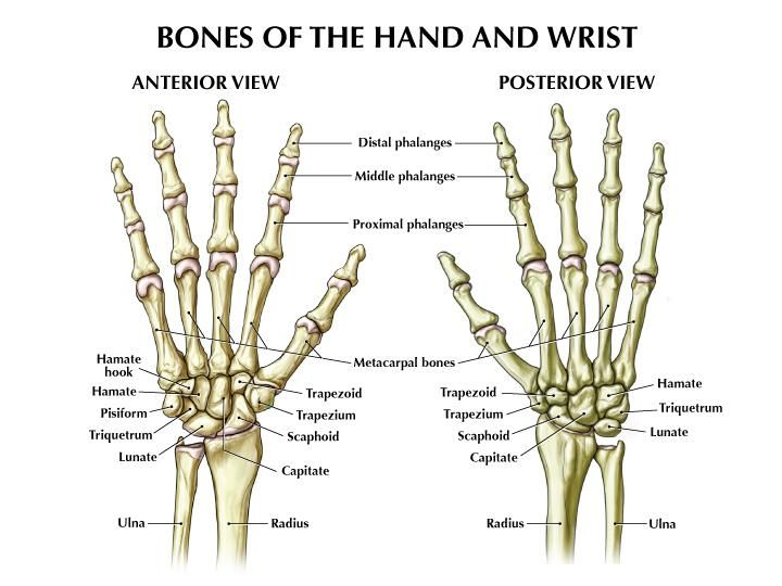 Bones of the hand and wrist anterior view and posterior view