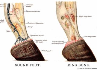 Horse ring bone and sound foot
