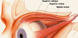 Extraocular muscle anatomy