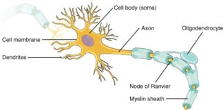 Cell body soma, oligodendrocyte anatomy
