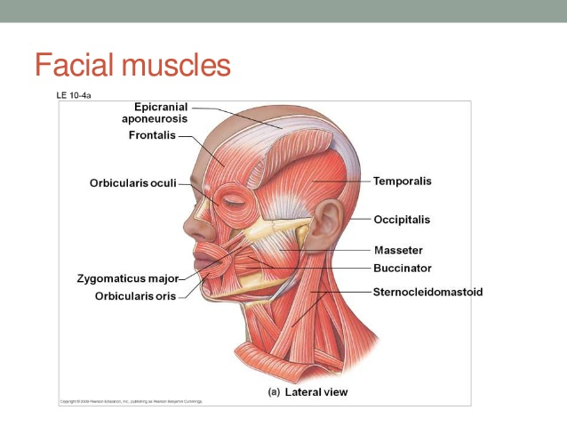 Facial muscles anatomy gross view