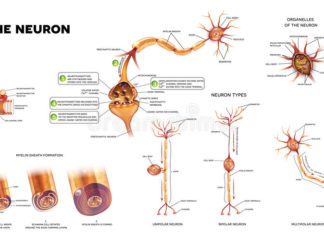 The neuron anatomy gross view