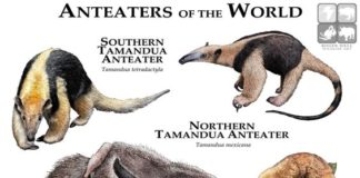 Anteaters of the world