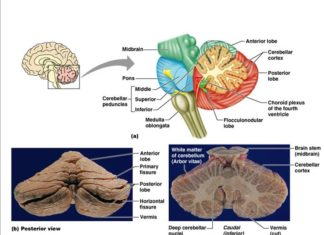 Cerebellum laterla view, posterior view, frontal section view