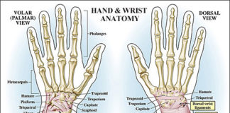 Hand and wrist anatomy volar view and dorsal view diagram