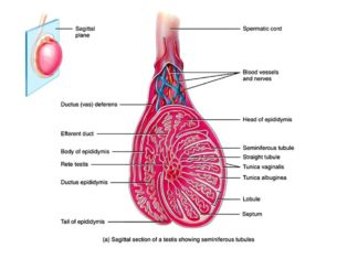 Internal and external anatomy of a testis