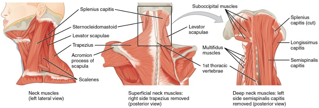 Neck muscles different view