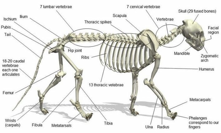 Cat skeleton anatomy