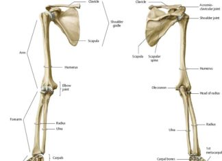 Arm and shoulder bones anterior view and posterior view