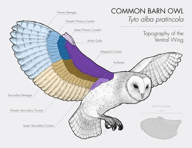 Common barn owl tyto alba pratincola topography of the ventral wing