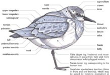 Shorebird anatomy