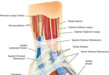 Achilles tendon calcaneal tendon anatomy