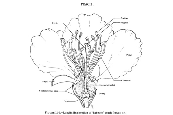 Longitudinal section of Babcock peach flower