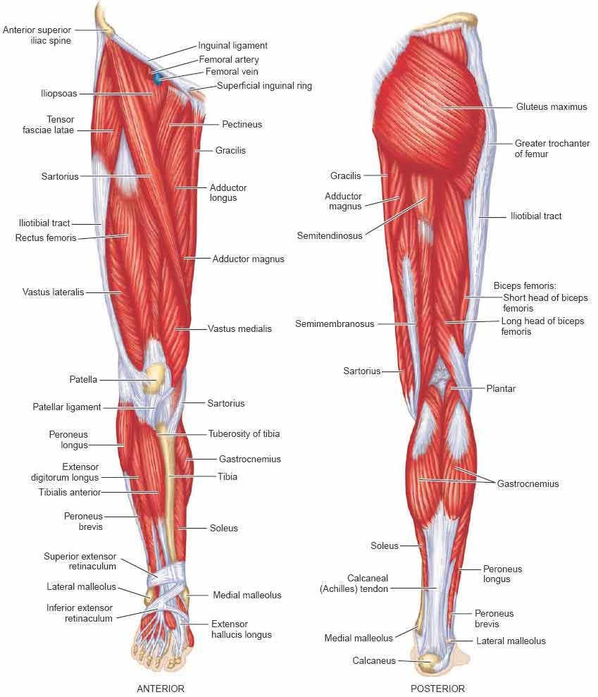 Anterior view and posterior view of the human leg muscles anatomy