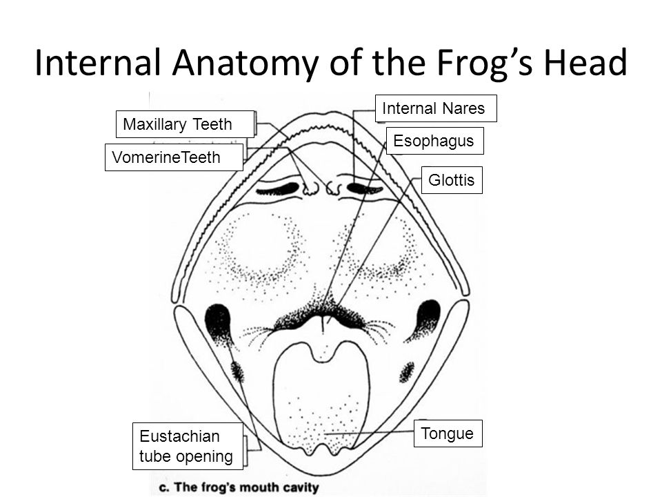 the frog's oral cavity anatomy
