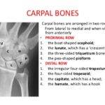 Carpal bones introduction