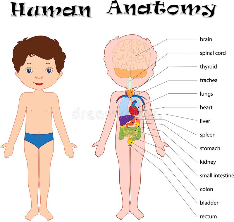 Human anatomy for kids learning